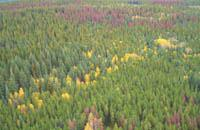 Outbreaking mountain pine beetle, 2004, BC.